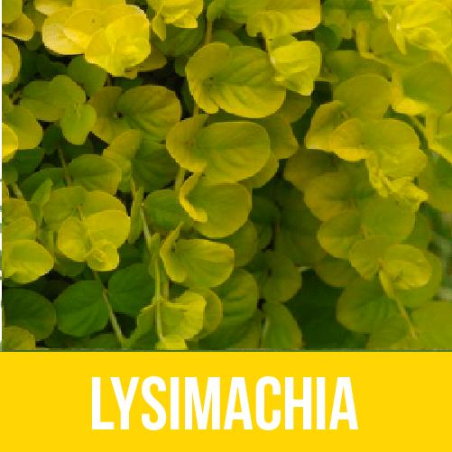 Lysimachia