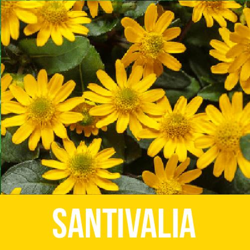 Sanvitalia