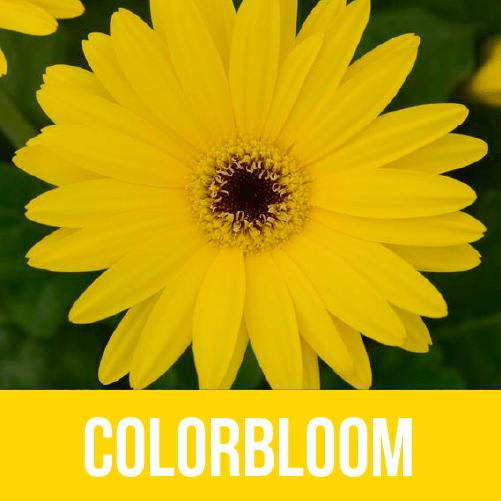 Colorbloom