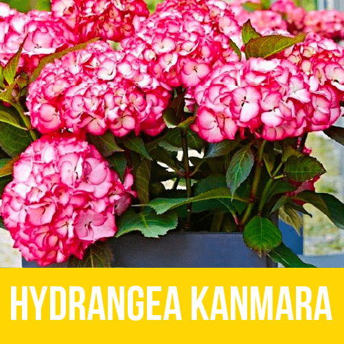 Hydrangea Kanmara