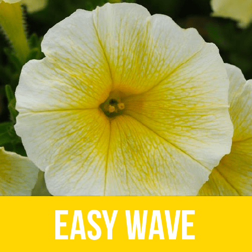 Easy Wave