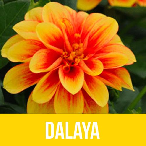 Dalaya