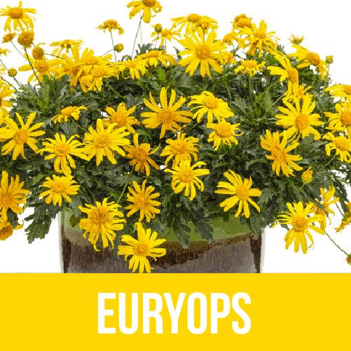 Euryops