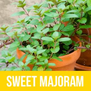 Sweet Majoram