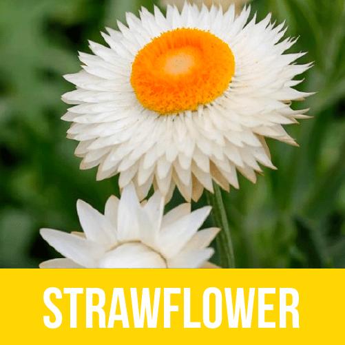 Strawflower