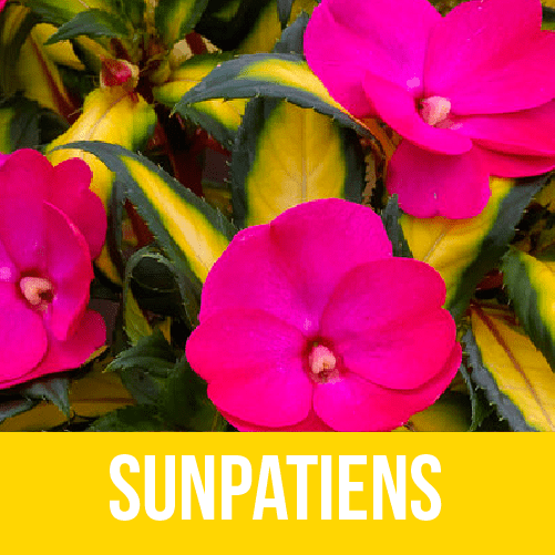 Sunpatiens