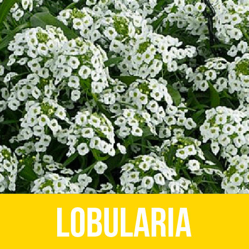 Lobularia
