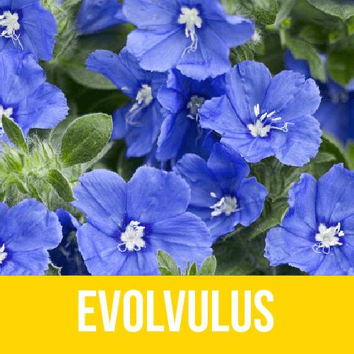 Evolvulus